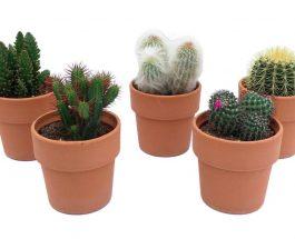 कैक्टस पौधा लगाने से दूर होता है दुर्भाग्य, तरक्की में भी रुकावटें नहीं आती