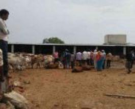 भाजपा नेता के गोशाला में भूख से तड़प-तड़प कर मर गयीं 200 गायें